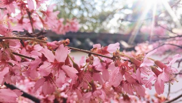 Cherry Blossoms Shofoso Japanese House Philadelphia