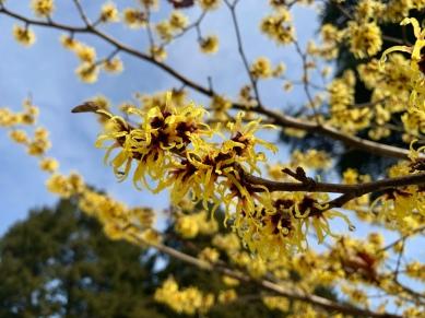 Witchhazels Morris Arboretum Philadelphia