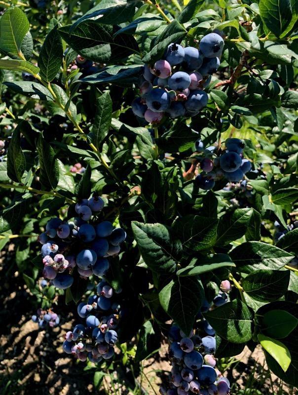 Blueberries Hammonton NJ